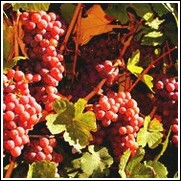 Red Catawba Bunch Grape Vine