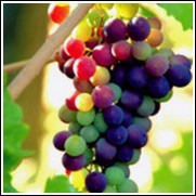 Reliance Seedless Grape Vine