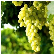 Thompson's Seedless Grape Vine