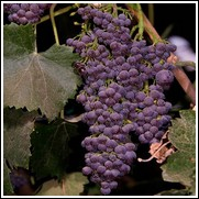 Champagne Seedless Grape Vine