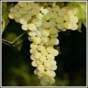 Delight Seedless Grape Vine