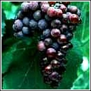 Einset Seedless Grape Vine