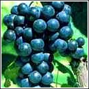 Glenora Seedless Grape Vine