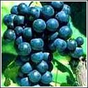 Glenora Seedless Grape Vine