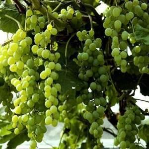 Himrod Seedless Grape Vine