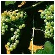 Lakemont Seedless Grape Vine