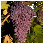 Midgely's Purple Seedless Grape Vine
