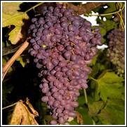 Midgely's Purple Seedless Grape Vine