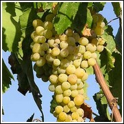 Summer Muscat Seedless Grape Vine
