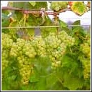White Romulus Seedless Grape Vine