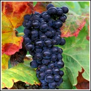 Cabernet Sauvignon Wine Grape Vine