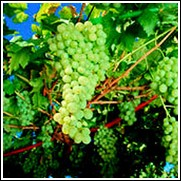 Pinot Chardonnay Wine Grape Vine