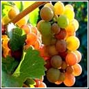 Pinot Gris White Wine Grape Vine