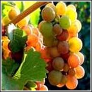 Pinot Gris White Wine Grape Vine