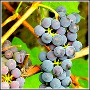 Zinfandel Wine Grape Vine