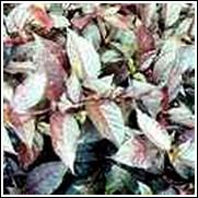 Gail's Choice Perennial Plant