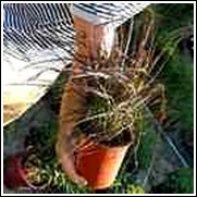 Giant Burgundy Fountain Grass