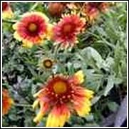 Goblin Blanket Flower -<br>Gaillardia grandiflora