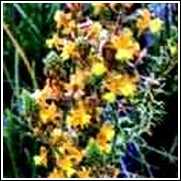 Hallmark Perennial