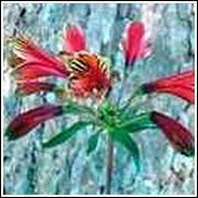 Inca Lily