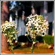 Ivory Coast Lily