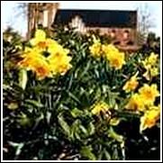 Jetfire Daffodil Bulb