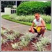 Liriope muscari 'Silver Dragon' Plant