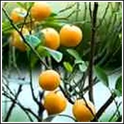 Sweet Kumquat Tree