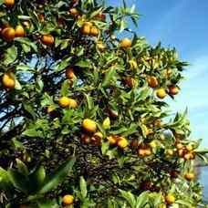 Meiwa Kumquat Tree Kumquat Trees Free Kumquat Tree Video Low
