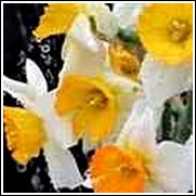 Minnow Daffodil Bulb