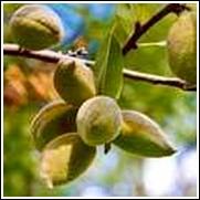 Prima Almond Tree