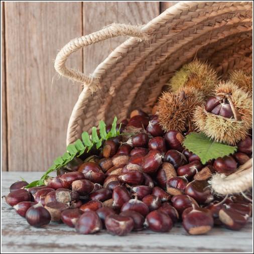 Buy Revival Chestnut Tree Revival Chestnut Trees Revival