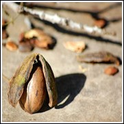 Northern James Pecan Tree