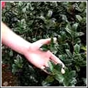 Needlepoint Holly Shrub