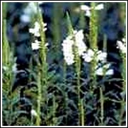 Obedient Plant -<br>Physostegia virginiana
