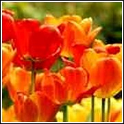 Orange Emperor Tulip Bulb