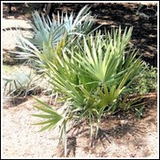 Dwarf Palmetto Palm Tree