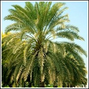 Sylvester Palm Tree
