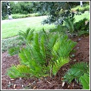 Zamia Coontie Palm Tree