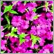 Phlox maculata (Alpha)