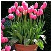Pink Daffodil Bulb