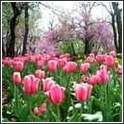 Pink Palestrina Tulip Bulb
