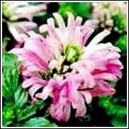 Pink Tongues -<br>Jacobinia carnea