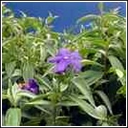 Princess Flower -<br>Tibouchina urvilleana