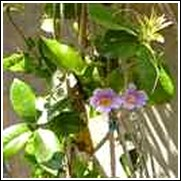 Purple Painted Flowering Vine