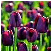 Purple Queen of Night Tulip Bulb