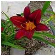 Red Allapatah Daylily