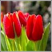 Red Apeldoorn Tulip Bulb