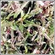 Red Thread Perennial Plant