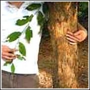 American Hophornbeam Tree